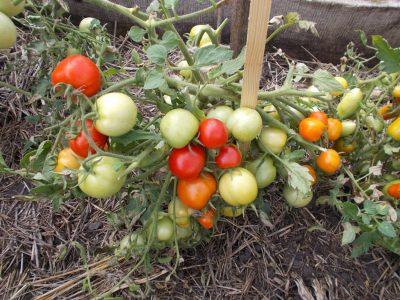 помидор сорт видимо-невидимо