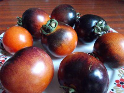 помидор сорт Индиго роуз (indigo rose)