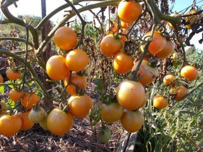 помидор сорт скала или k54-77