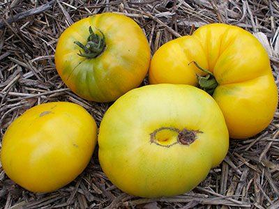 ananasniy