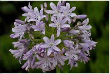 Agapanthus Lilac Time