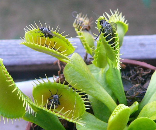 Dionaea_muscipula_insects