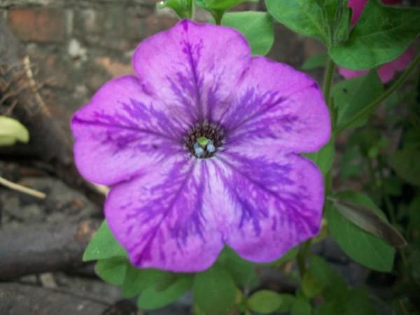 Petunia3