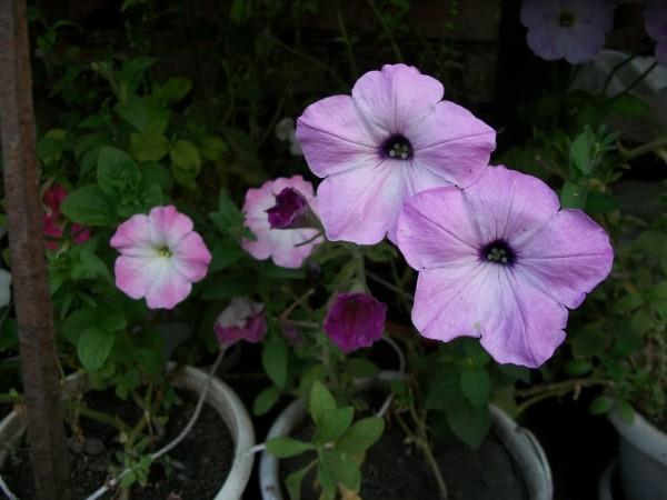 Petunia5