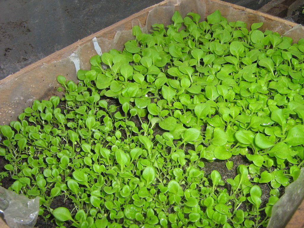 Выращивание петунии в теплице из семян 1374