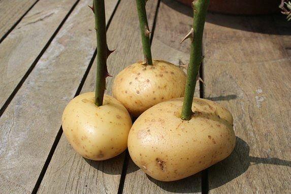 Черенки розы в картошке вырастить