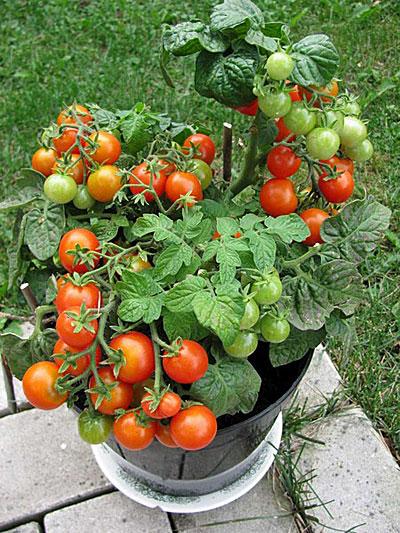 Tomat4