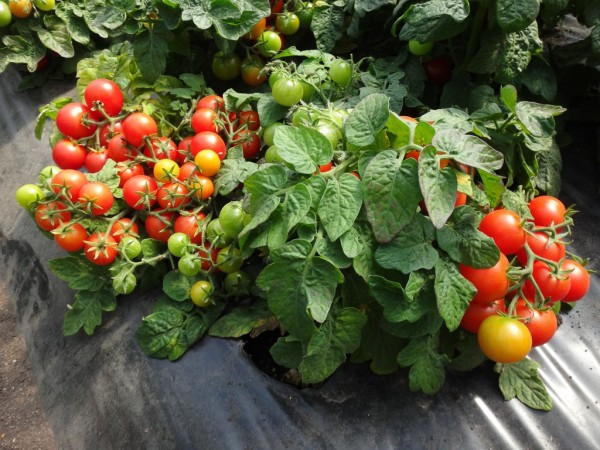 Tomat6