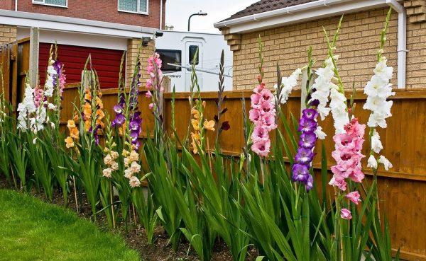 gladiolusy-v-klumbe