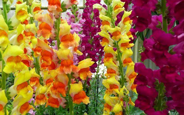 gladiolusy1