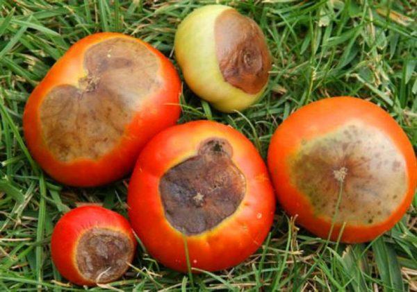 vershinaya-gnil-tomatov