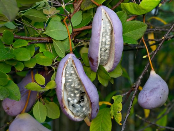 Akebija semena