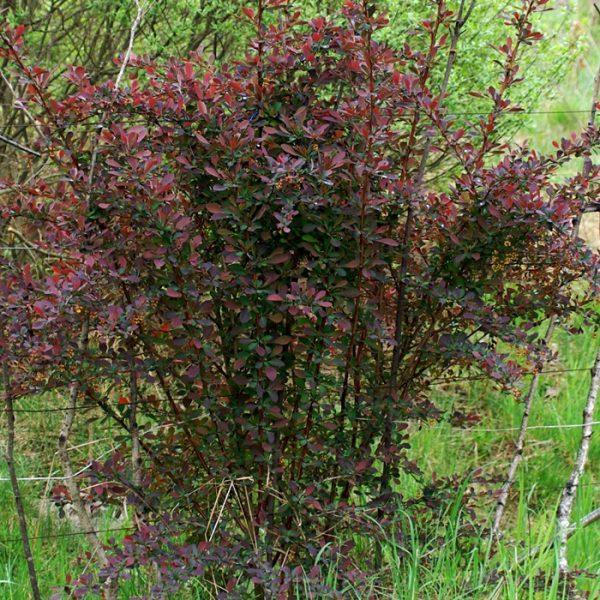 Berberis-ottawensis-Auricoma