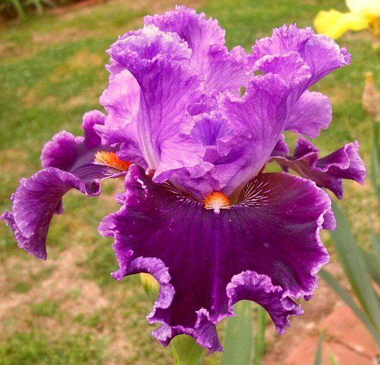 Iris13