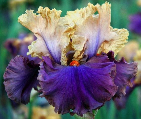 Iris14