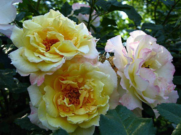 roza-6