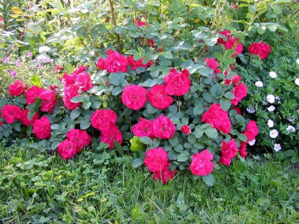 roza4