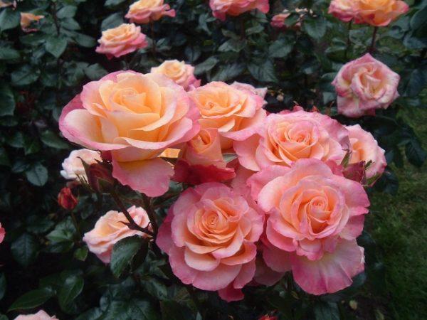 roza5