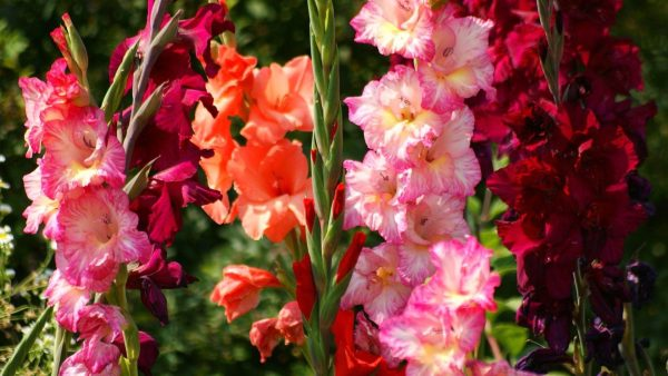 gladiolus1