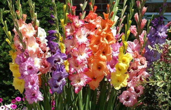 gladiolusy
