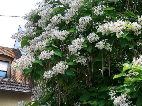 reich blühende Schönheit mit breiter Krone, bohnenähnliche Früchte