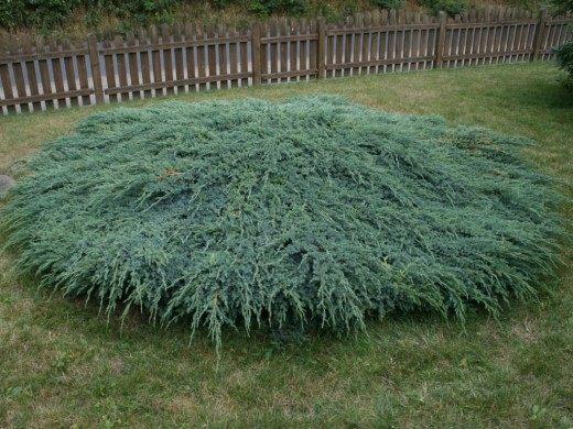 Вечнозелёные растения