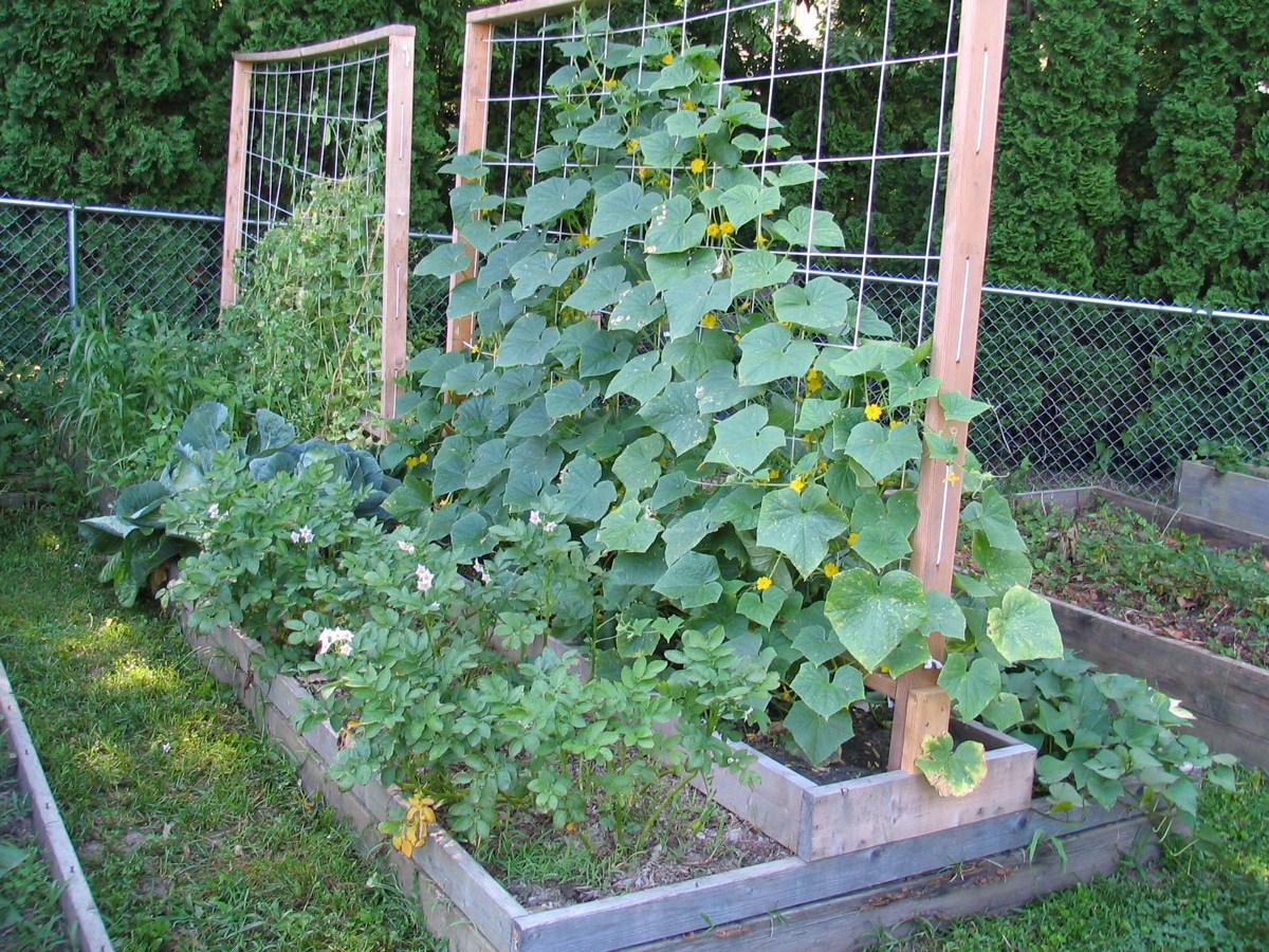 Огурцы на шпалере выращивание в открытом грунте 82