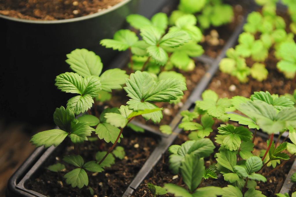 Как вырастить рассаду клубники 5