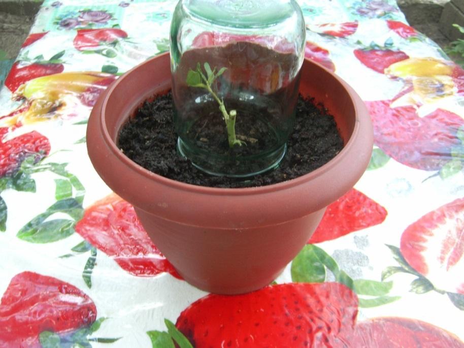Вырастить черенок розы в домашних условиях 204